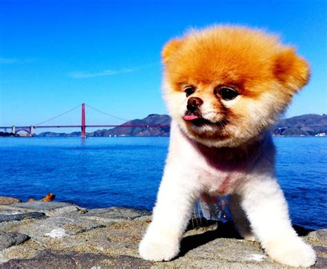 Boo Boo The by Meet Boo The World S Cutest And The Secret