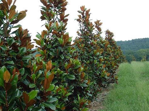 alberi da giardino prezzi alberi sempreverdi da giardino alberi piante