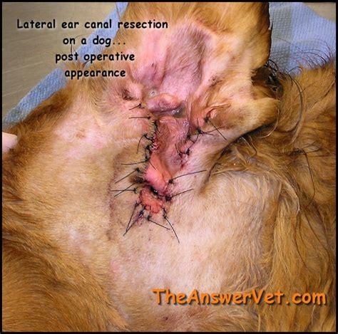 black ear wax in dogs ear mites car interior design