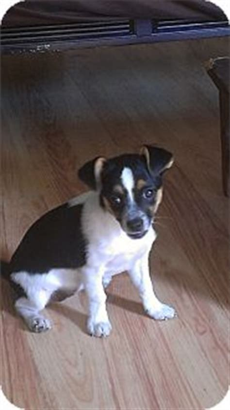 pug rat terrier chihuahua mix pug rat terrier mix breeds picture