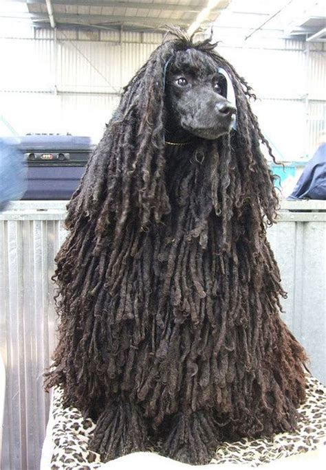 how to do a bob marley poodle cut on a dog 1000 images about dogs on pinterest poodles standard