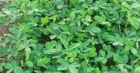 Pupuk Npk Mutiara Hijau pupuk hijau pupuklopedia