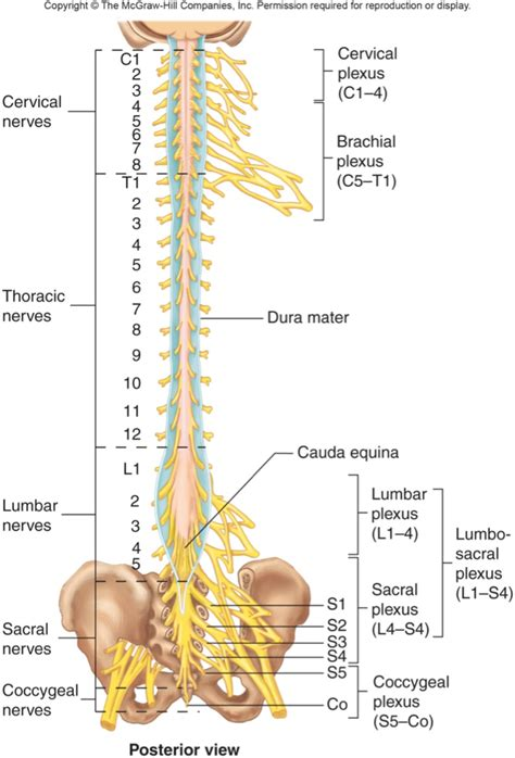 diagram of the spine and nerves chart spine charts and nervous
