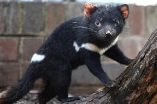 Résultat d'images pour diable de tasmani