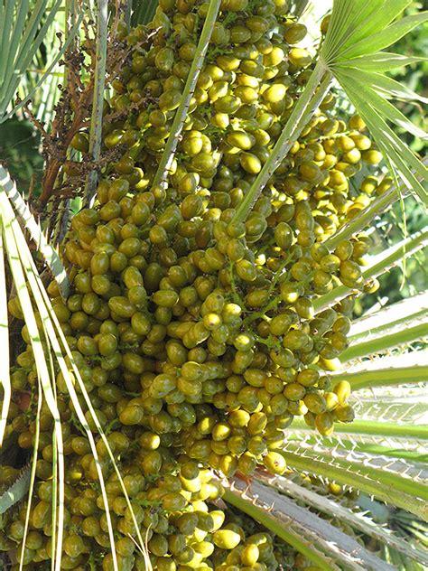chamaerops humilis mediterranean fan palm mediterranean fan palm chamaerops humilis in atlanta