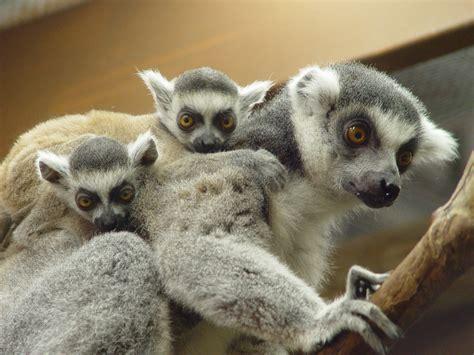 baby lemur rainforest babies rain forest baby