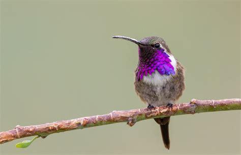 lucifer hummingbird song call voice sound