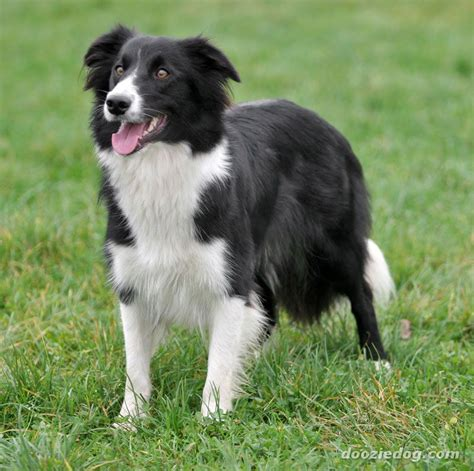 images of border collie puppies border collie 11 jpg