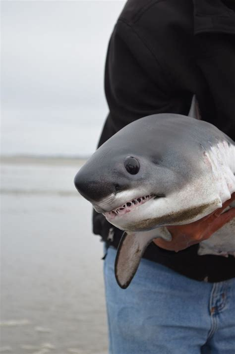 baby shark jaws baby great white shark water loves pinterest sharks