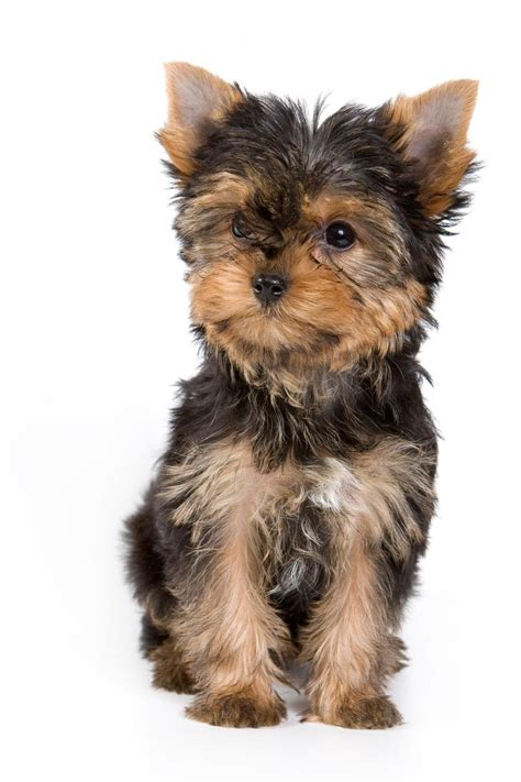 hair yorkie puppies yorkie puppies guide to puppies