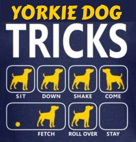 yorkie does tricks the 25 best yorkie haircuts ideas on yorkie cuts york poo and yorkie cut