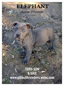 Blue bully pitbull puppies for sale american bully puppies for sale