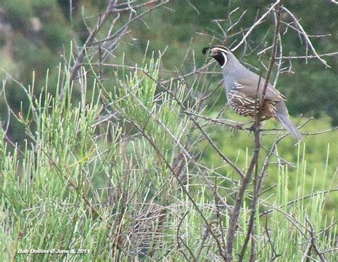 monrovia canyon park california quail