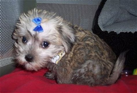 havanese schnauzer mix puppies schnese breed information and pictures