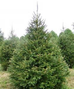 garden list 7 christmas pine trees amore linguine