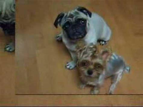 yorkie and pug pug yorkie