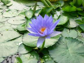 Blue Lotus How To Grow Blue Lotus Plant News