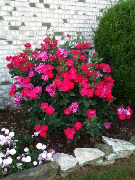 Landscape Ideas Using Knockout Roses Knockout Garden
