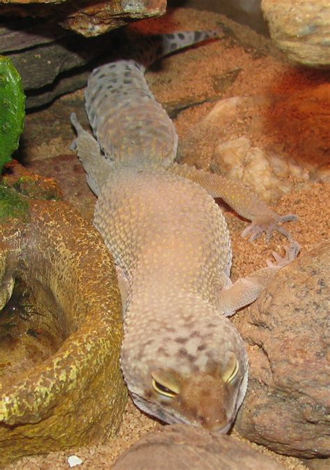 Leopard Gecko Shedding by Leopard Gecko 171 Dbhewitt S World Of Stuff