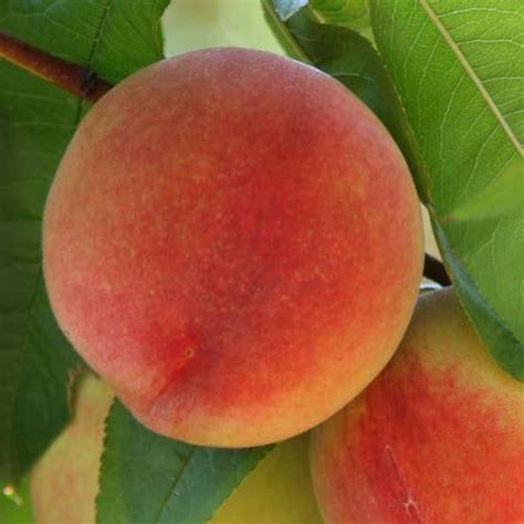 fruit trees buy fruit tree nursery melbourne fruit trees for sale buy