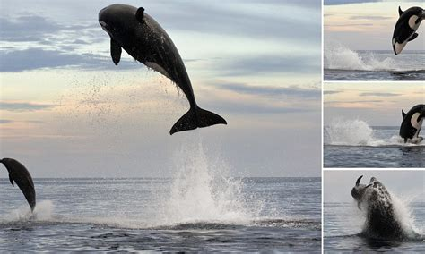 dream boat rough water eight ton orca leaps 15ft into the air to finally capture