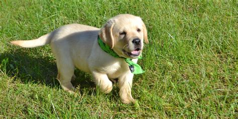 yellow lab puppies for sale oregon yellow lab puppies for sale winter valley labs mlk