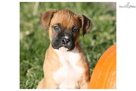 boxer puppies for sale in louisville ky boxer puppy for sale near louisville kentucky 3f9aa60e d691