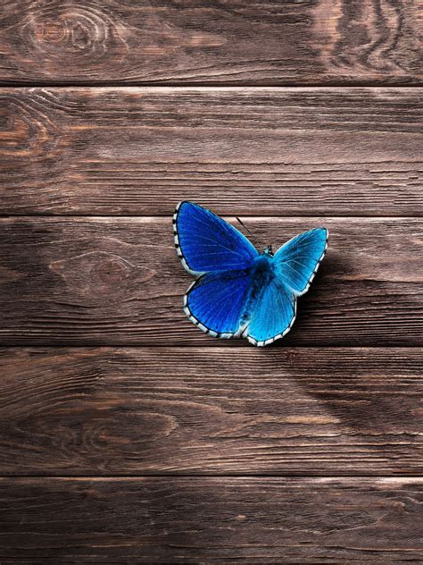 wallpaper butterfly wood blue   animals