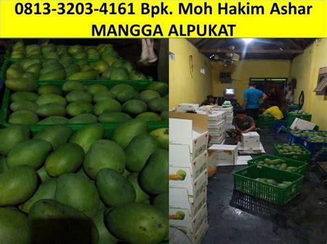 Jual Bibit Mangga Alpukat Pasuruan 0813 3203 4161 jual mangga alpukat
