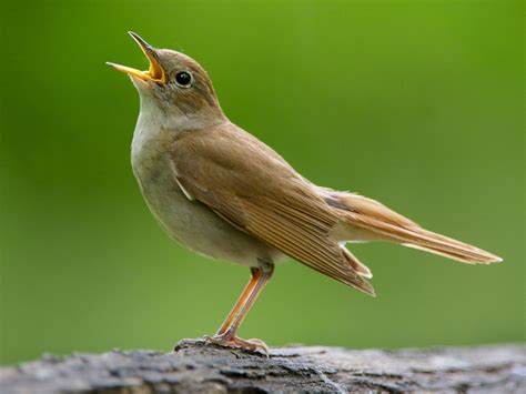 different types of birds that sing nightingale national bird of iran interesting facts