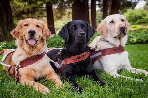golden retriever blind guide three guide dogs golden retr guide dogs for the blind office photo glassdoor