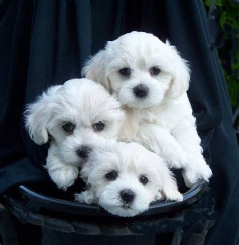 maltese puppies for sale in ta what maltese breeds picture