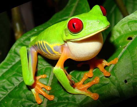 imagenes de ranitas verdes la rana verde de ojos rojos naturaleza curiosa
