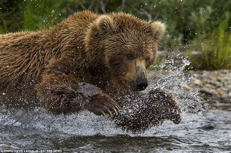 cubs bench alaskan bear hunts salmon as her three cubs look on then