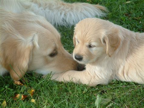 golden retriever litter exceptional litter of golden retrievers dorchester dorset pets4homes