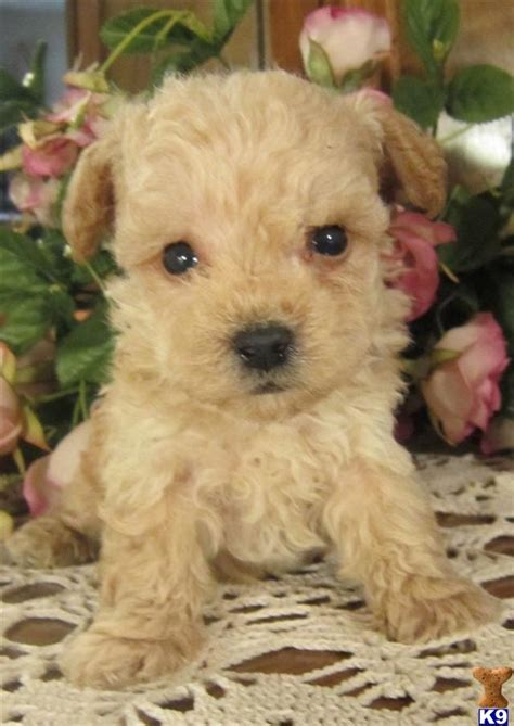 chihuahua poodle yorkie mix images of chihuahua yorkie poodle mix wallpaper kootationcom breeds picture