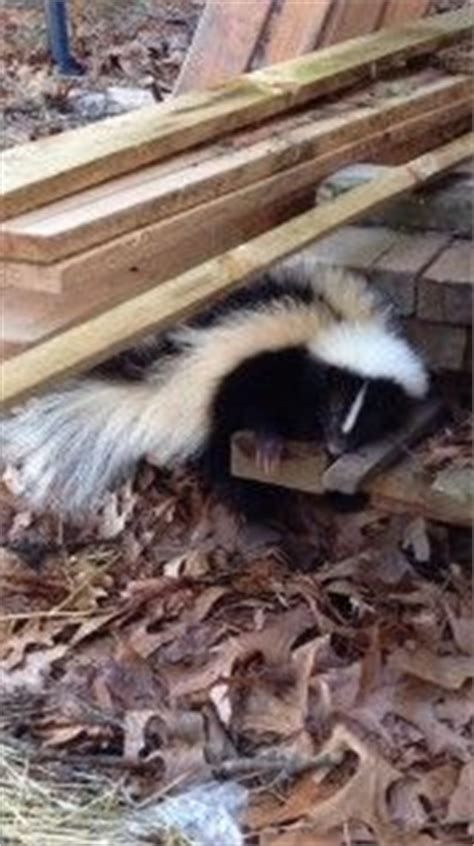 how to remove skunk smell from 1000 ideas about skunk smell remover on skunk smell skunk removal and