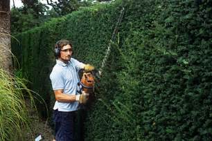 Best Shrubs For Topiary - yew rhs gardening