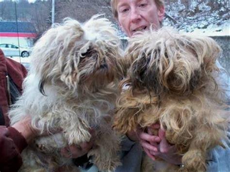 shih tzu rescue missouri our puppy mill auction experience crossroads shih tzu rescue