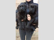 Rottweiler Cane Corso Mix Welpen Related Keywords Suggestions