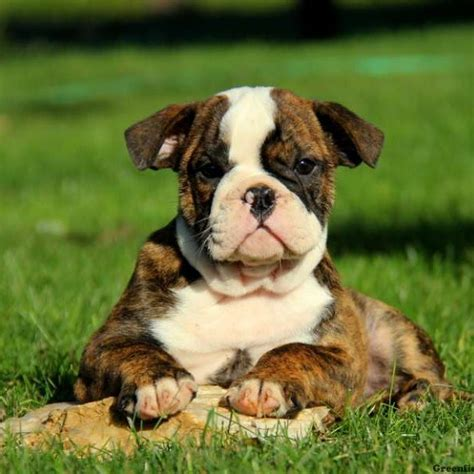 olde bulldogge puppy olde bulldogge puppies for sale greenfield puppies
