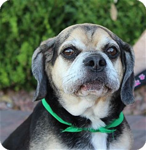 pugs las vegas pug beagle mix for adoption in las vegas nevada monkey