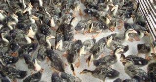 Bibit Bebek Potong Cara Tepat Menghasilkan Bebek Potong Seragam Budidaya Usaha