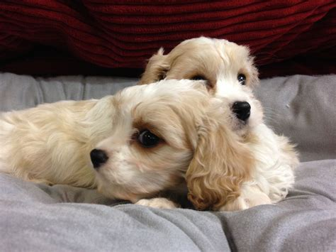 cavachon puppies for sale in pa cavachon puppies for sale puppy breeders breeds picture