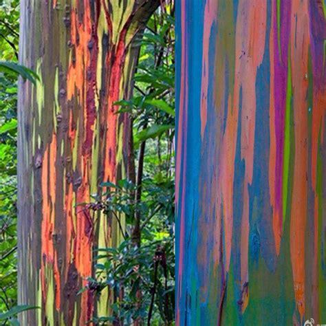 rainbow eucalyptus 40x tree rainbow eucalyptus deglupta mindanao gum seeds