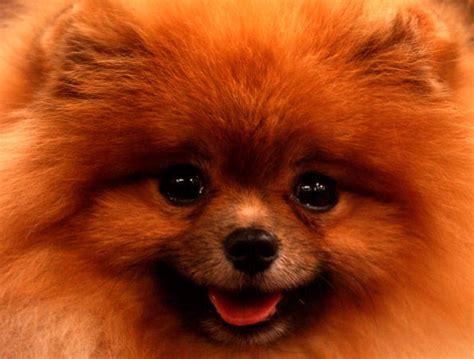 fluffiest dogs top ten fluffiest breeds