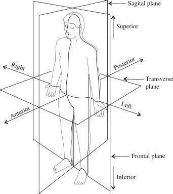 anatomical position diagram anatomy and physiology i coursework anatomical position