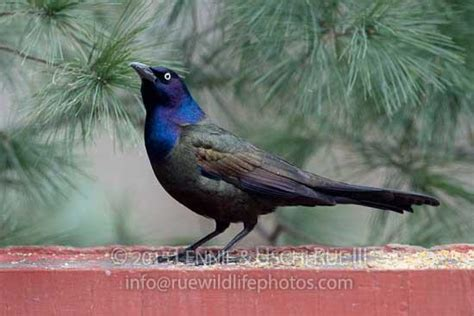 grackle common quiscalus quiscula icteridae rwp 81157 3