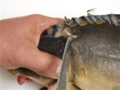 schuppen entfernen karpfen schlachten und vorbereiten f 252 r die k 252 che lfl