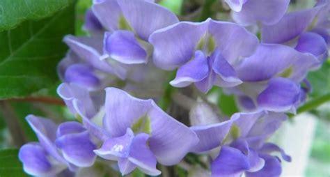 foto glicine in fiore significato glicine linguaggio dei fiori